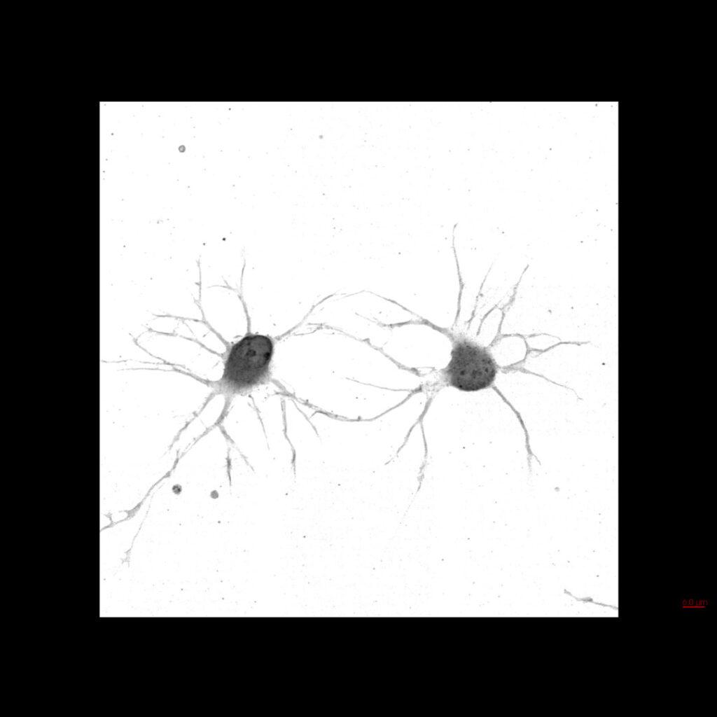 Mouse neuron
